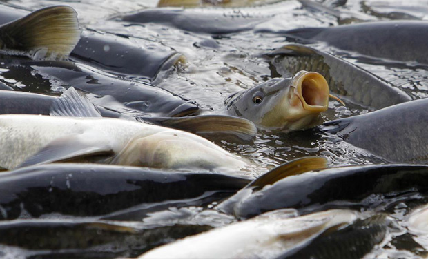 Immediate action needed on European Carp invasion before it's too late